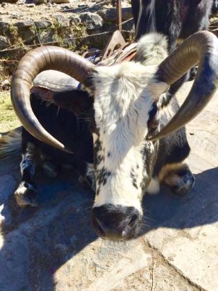 kios-bull